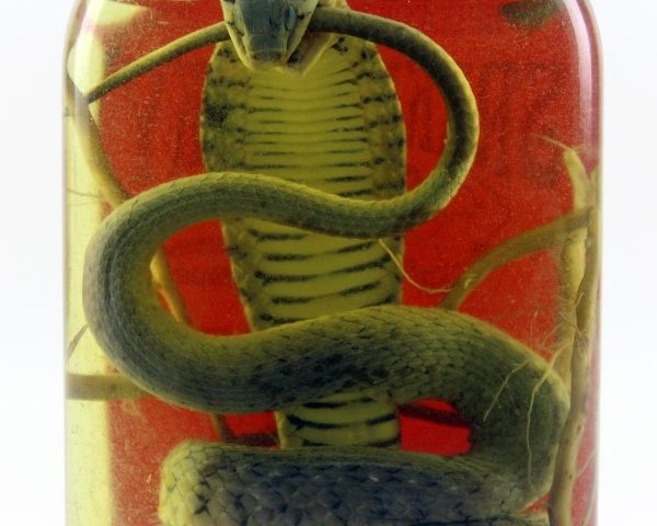 Snake Wine: Authentic Snake Liquor from Laos